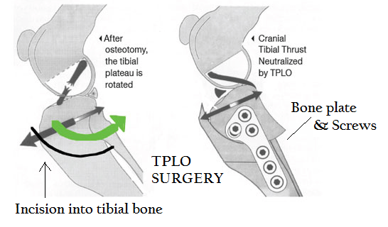 Dog Tightrope CCL Surgery