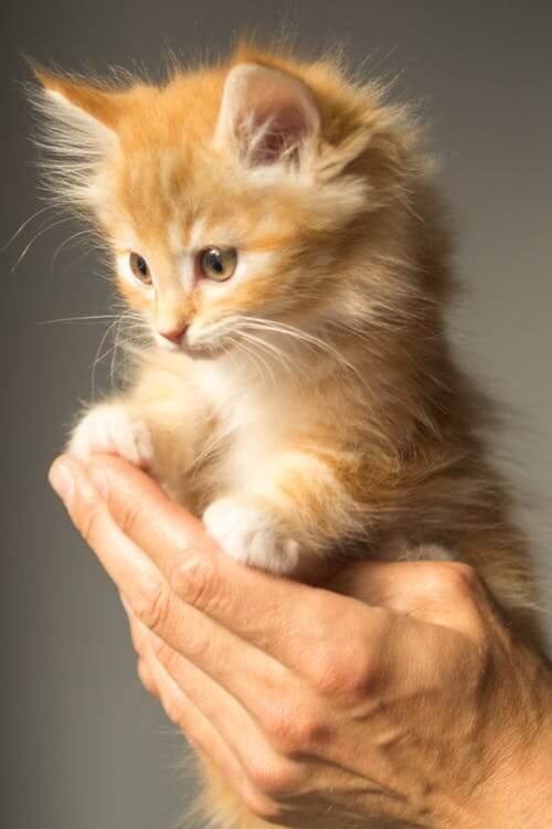 Kitten Care Maybeck Animal Hospital