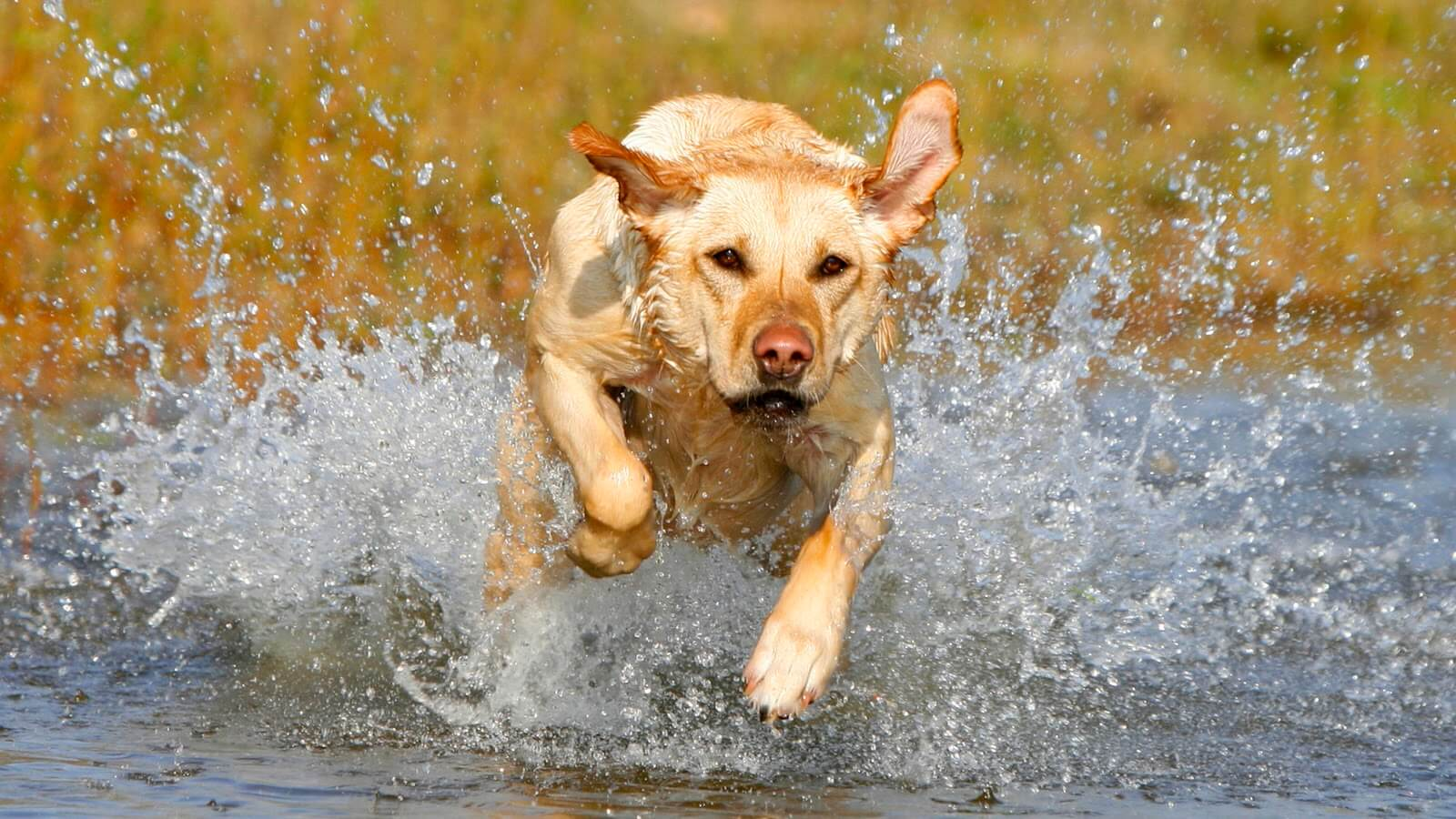 Leptospirosis On The Rise In Dogs