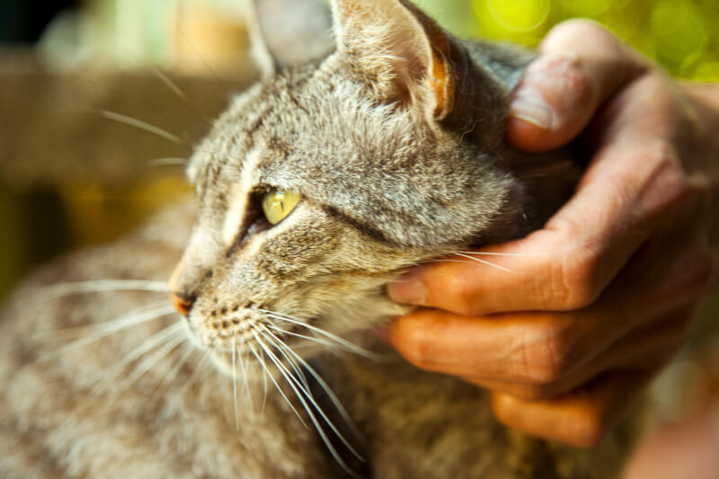Cat Wellness Exams At Maybeck Animal Hospital